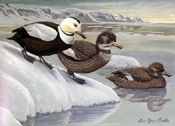 Вымершая птица - лабрадорская гага