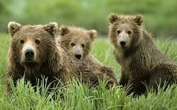 Бурые медвежата