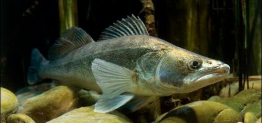 Стимулятор роста рыб