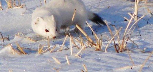 Охота на горностая