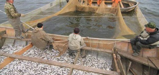 Рыбы Баренцева моря