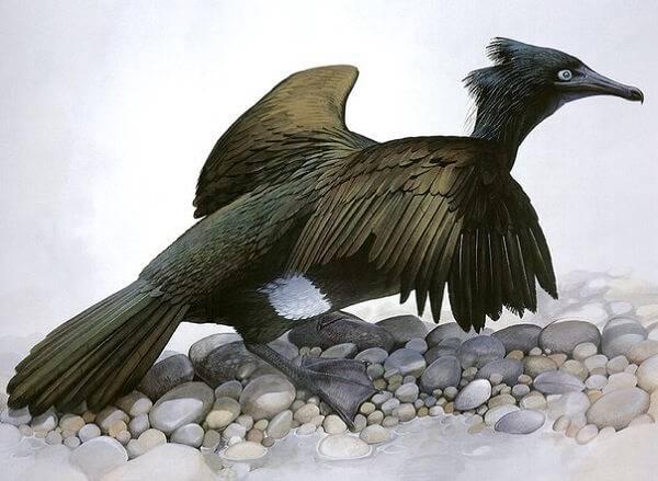 Вымершая птица - стеллеров баклан