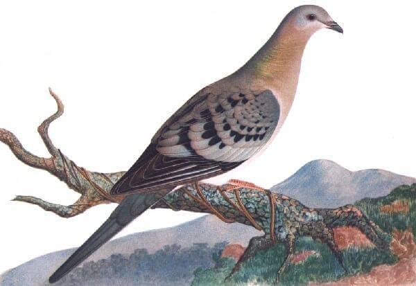 Вымершая птица - странствующий голубь