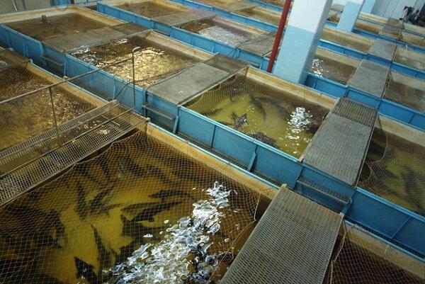 Выращивание рыбы в искусственном водоеме