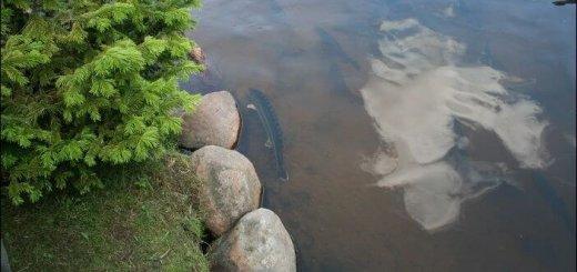 Выращивание рыбы в прудах