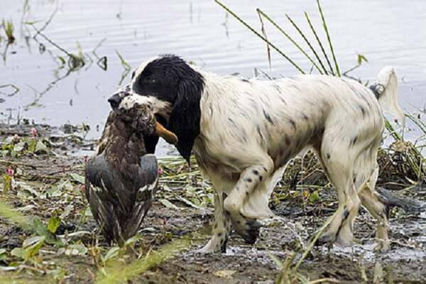 Охота на утку с легавой