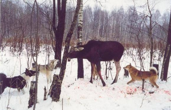 Охота с лайками на копытного зверя