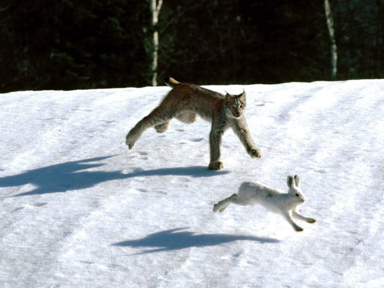 Охота на зайцев - Охота и рыбалка в России и за рубежом
