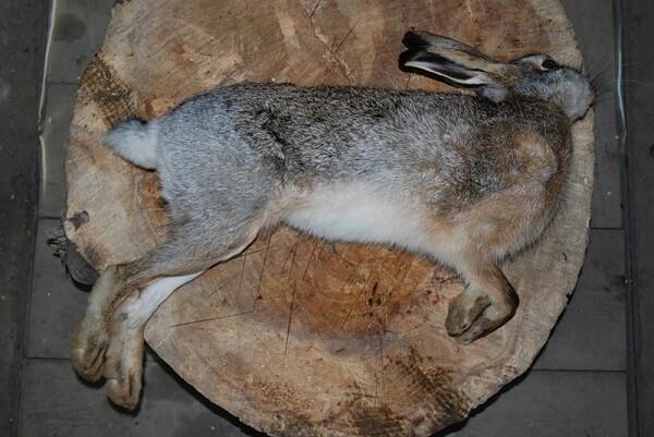 Обработка тушки зайца