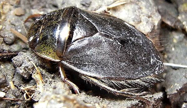 Ilyocoris cimicoides