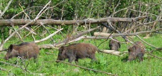 Тихая охота на кабана