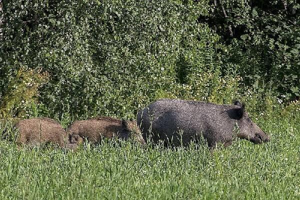 Охота в Латвии на кабана
