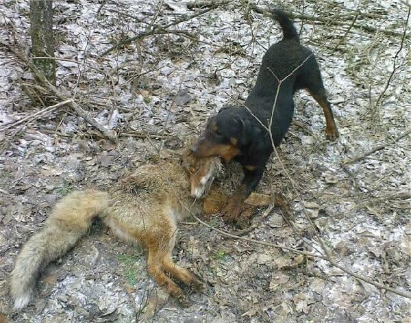 Охота на лис с собаками