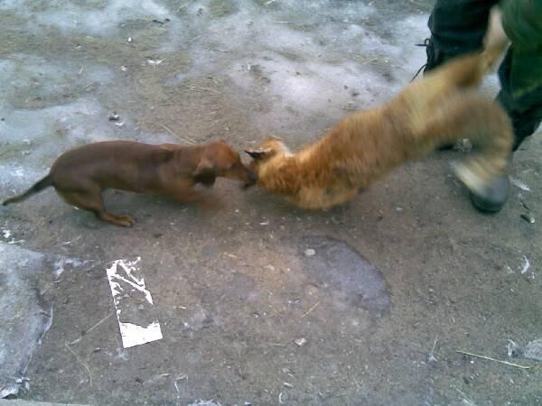 Охота на лису с таксой