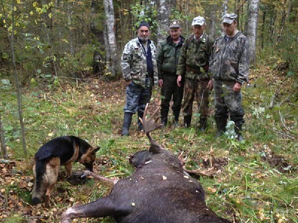 Охота на лося с собакой
