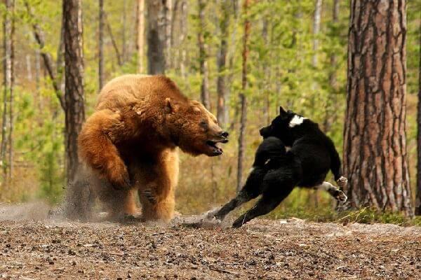 Охота на медведя с лайкой видео