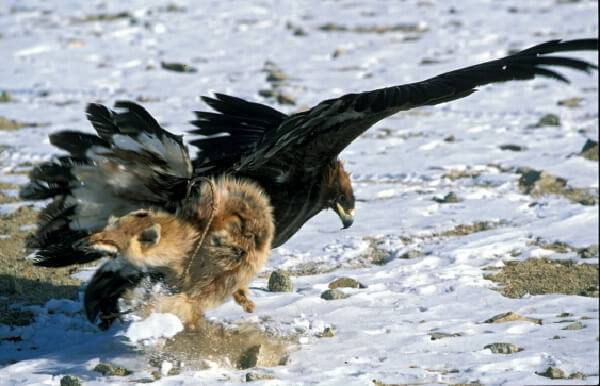 Охота на волков с беркутом