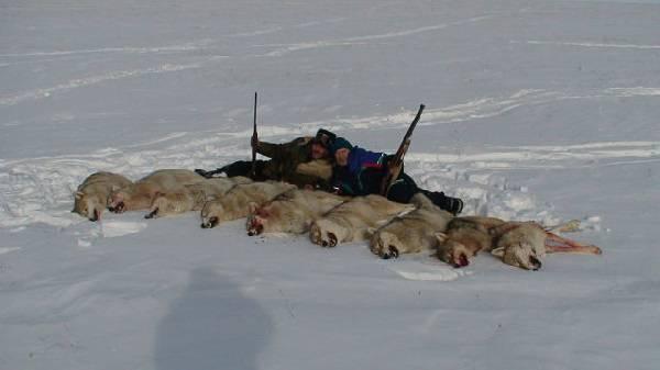 Видео охоты на волков в Казахстане