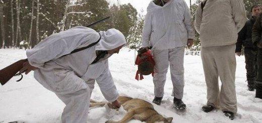 Охота на волков зимой