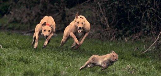 Охота на зайцев с борзыми