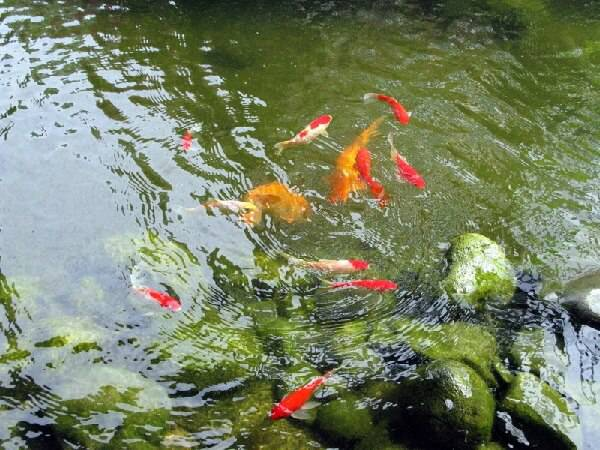 Разведение рыбы в своем водоеме