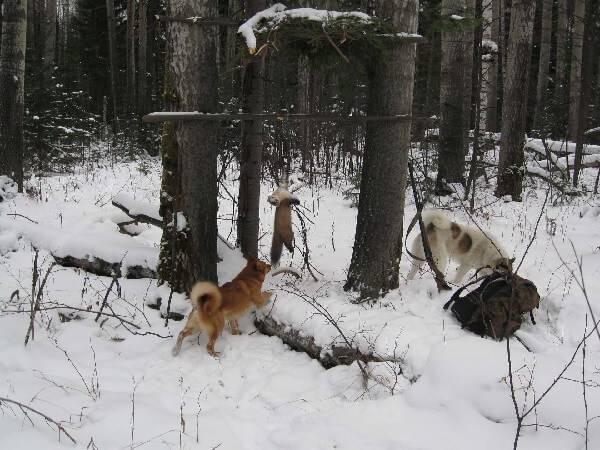 Охота капканами