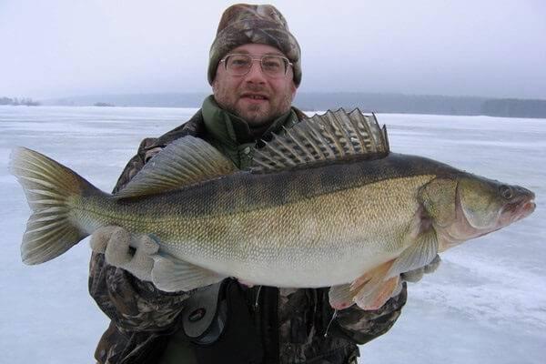 Ловля судака на Волге зимой