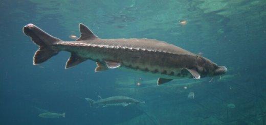 Осетр-исчезающий вид рыб