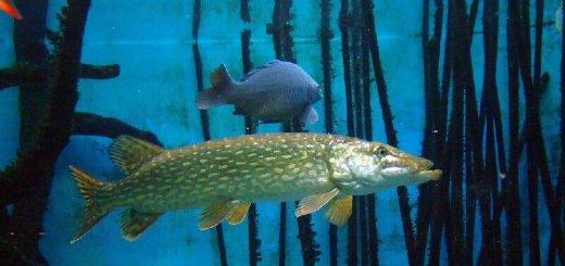 Рыбы в жару