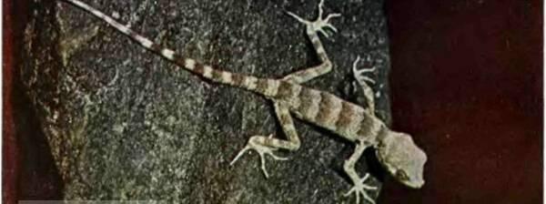 Гобийский геккон
