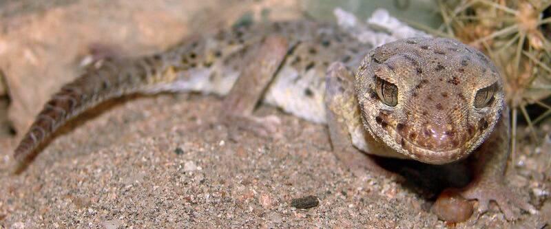 Сцинковый геккон Пржевальского