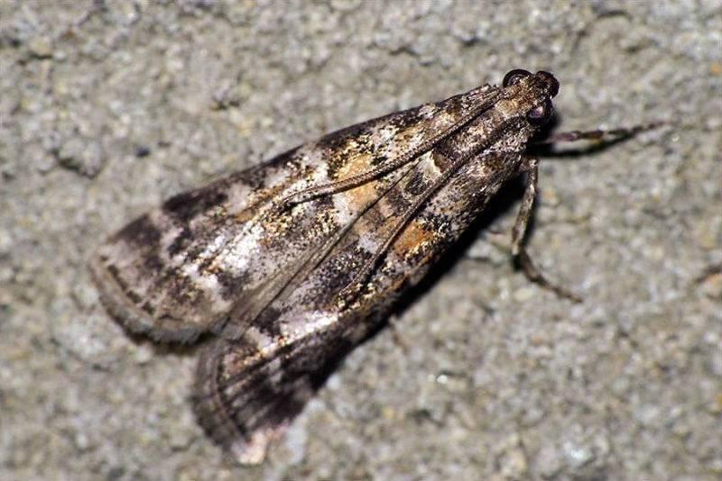 Еловая шишковая муха