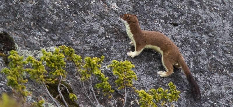 Животное горностай