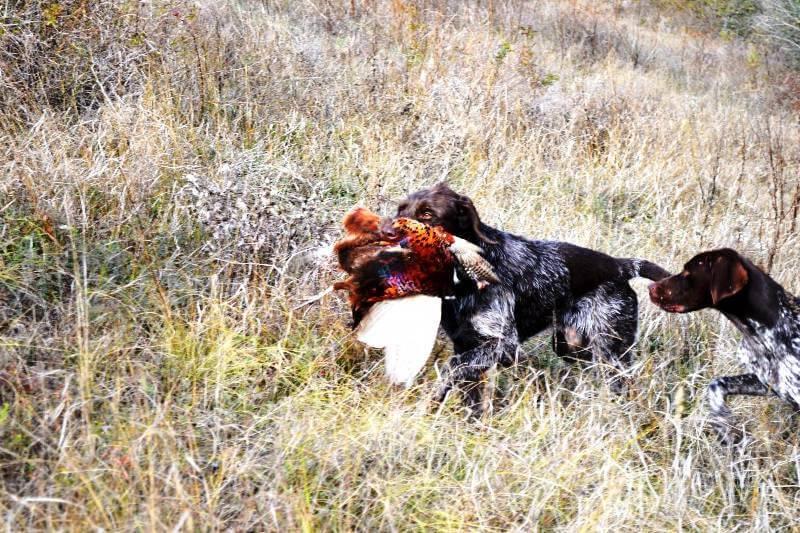 Охота на фазанов с собаками