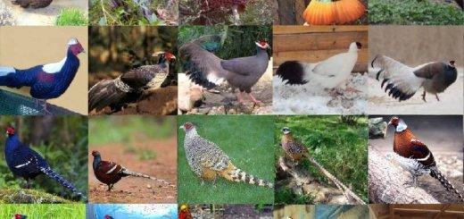 Фазановые птицы