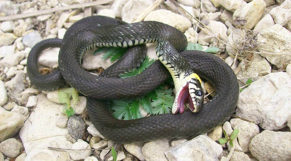 Танатоз у змеи