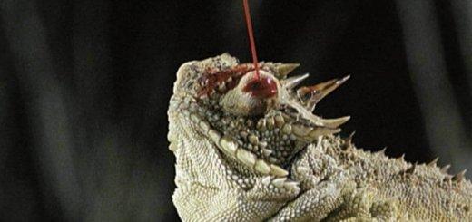 Выброс крови из глаза у ящерицы
