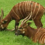 Антилопы бонго