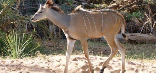 Отлов антилоп