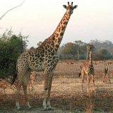 Отлов жирафов