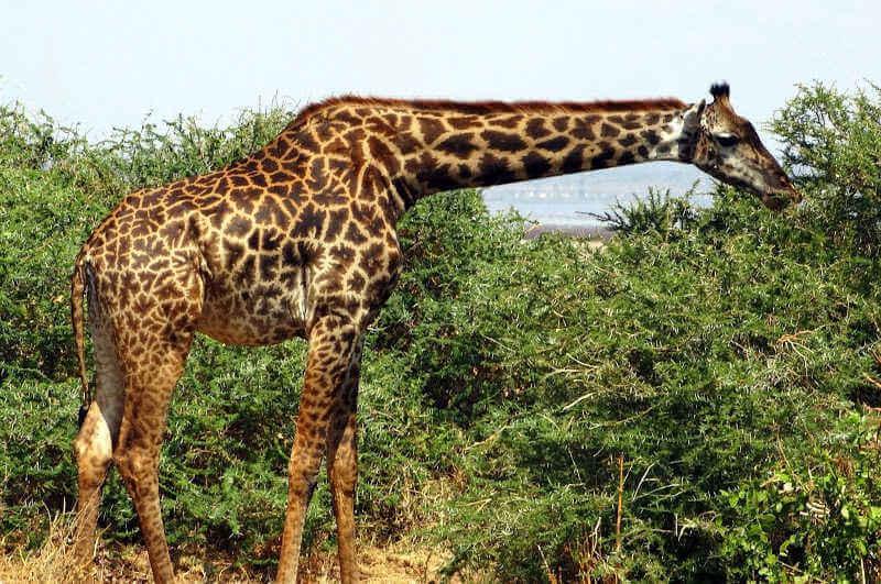 Ловля жирафов