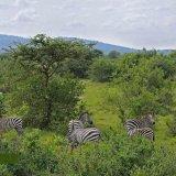 Ловля зебр в Уганде