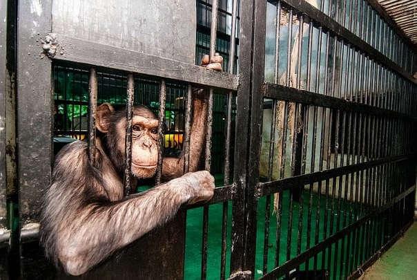 Шимпанзе в зоопарке