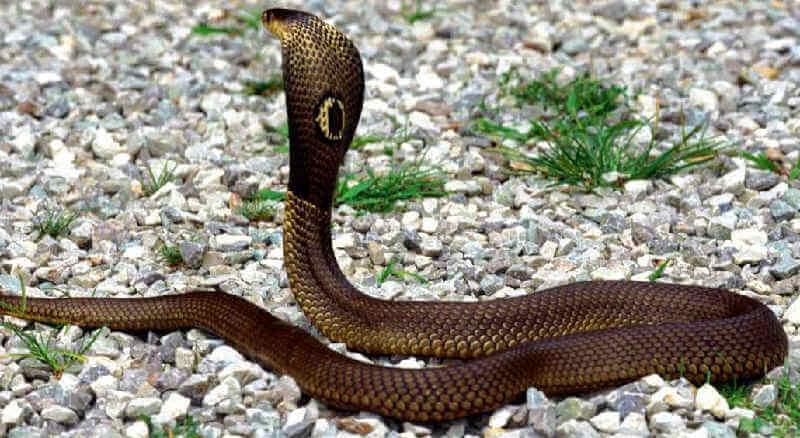 Ядовитая змея - кобра