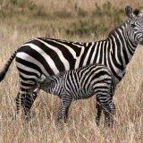 Зебры Бёме