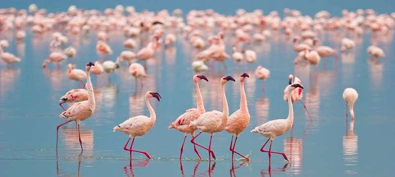 Фламинго на озере Накуру