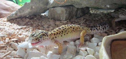Содержание гекконов в террариуме