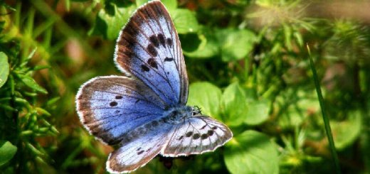 Голубянка арион