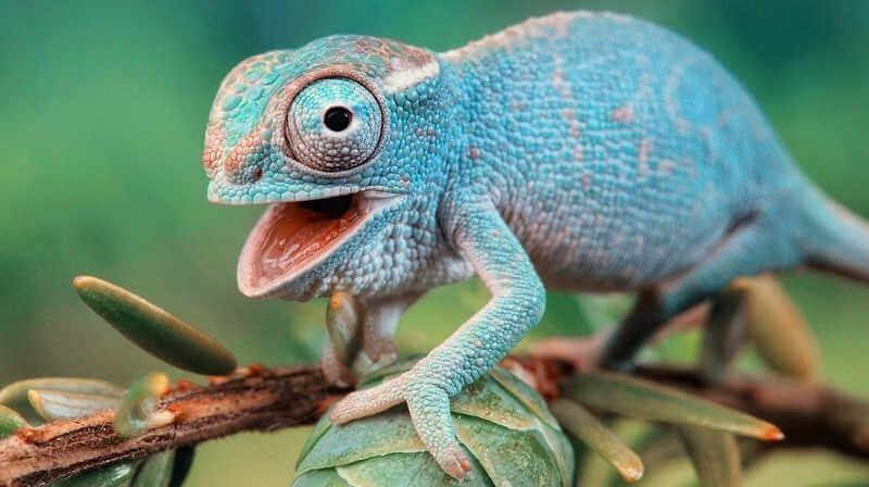 Способности хамелеонов