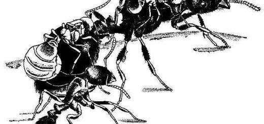 Инквилинизм у насекомых